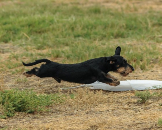Bentley in the coursing ability test